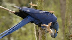 Hyacinth Macaw hanging around Stock Footage