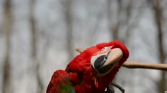 Scarlet Macaw scratching Stock Footage
