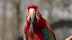 Scarlet Macaw preening feather - stock footage