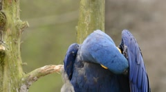Hyacinth Macaw preening and scratching Stock Footage