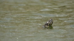 Slider turtle head at surface of water Stock Footage