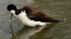 Black-necked Stilt bathing - stock footage