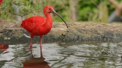 Scarlet Ibis feeding and drinking Stock Footage