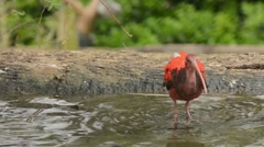 Scarlet Ibis immature preening and drinking Stock Footage