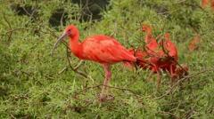 Scarlet Ibis in tree Stock Footage