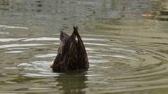 American Black Ducks feeding Stock Footage