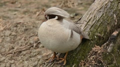 American Wood Duck male leucistic Stock Footage