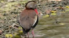 Black-bellied Whistling-Duck preening Stock Footage