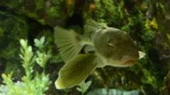Bighead Searobin Stock Footage