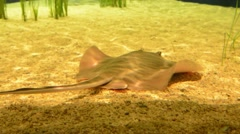 Southern Stingray Stock Footage
