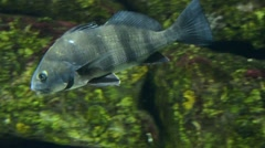 Black Drum swimming Stock Footage