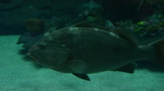 Jewfish or Giant Grouper Stock Footage