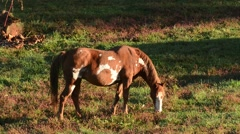 Mule grazing Stock Footage