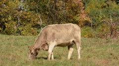 Jersey Cow grazing Stock Footage