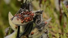 Milkweed Bugs Stock Footage