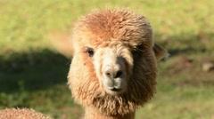 Alpaca shaking head Stock Footage