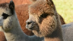Alpaca shaking head Stock Footage