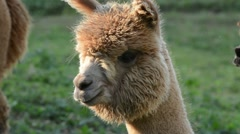 Alpaca looking around Stock Footage