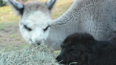 Alpaca grazing Stock Footage
