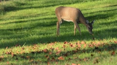 White-tailed Deer female and fawn grazing Stock Footage