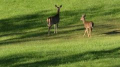 White-tailed Deer female and fawn responding to coyote Arkistovideo