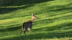 White-tailed Deer fawn on alert Stock Footage