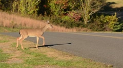 White-tailed Deer fawn crossing road Stock Footage