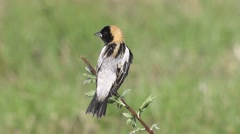 Bobolink male singing on territory in Connecticut Stock Footage
