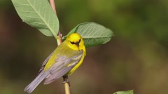 Blue-winged Warbler singing in Spring - stock footage