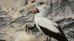 Nazca Booby adult and chick at nest Stock Footage