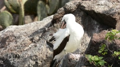 Nazca Booby adult preening Stock Footage