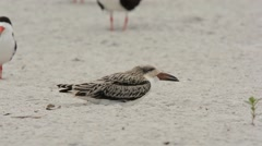 Black Skimmer chick yawning Stock Footage