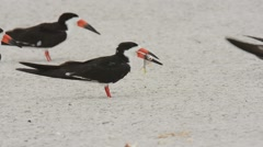 Black Skimmer adult with fish Stock Footage