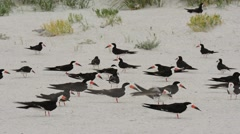 Black Skimmers adults milling around Stock Footage