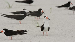 Black Skimmers adults milling around and taking flight Stock Footage