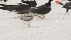 Black Skimmer chick calling Stock Footage
