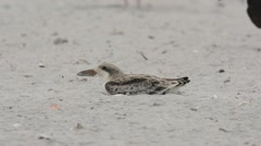 Black Skimmer chick looking around Stock Footage