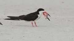 Black Skimmer adult trying to swallow fish Stock Footage