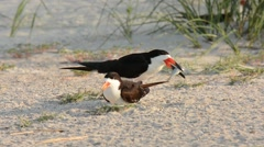 Black Skimmer adult offering fish to another adult Stock Footage
