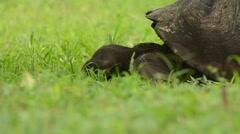 Galapagos Tortoise feeding Stock Footage