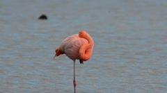 Greater Flamingo balancing on  one leg Stock Footage