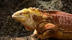 Land Iguana head bobbing Stock Footage