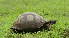Galapagos Tortoise walking Stock Footage