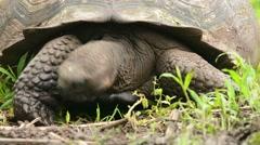 Galapagos Tortoise gaping Stock Footage
