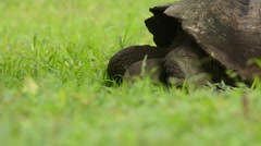 Galapagos Tortoise feeding and looking around Stock Footage