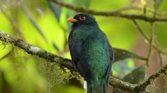 Masked Trogon male looking around Stock Footage