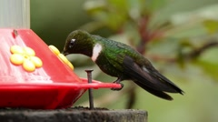 Collared Inca Hummingbird at feeder Stock Footage