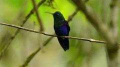 Violet-bellied Hummingbird male looking around Stock Footage