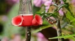 Purple-throated Woodstar Hummingbird at feeder Stock Footage
