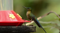Violet-tailed Sylph Hummingbird male at feeder Stock Footage